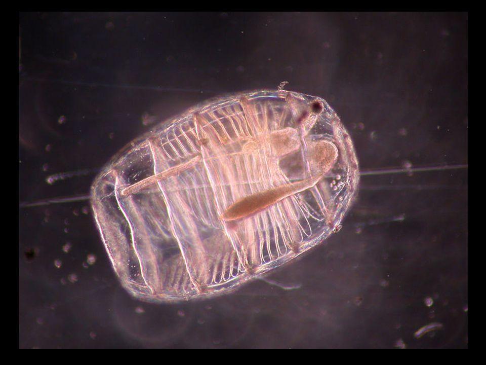 As salpas (Salpidae) são umas pequenas medusas do tamanho de uma polegada humana que parecem uma bola de gelatina, e habitam em grandes quantidades nos oceanos do mundo, especialmente nas águas gélidas da região antártica e nos mares do norte.Salpidae