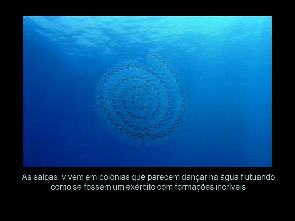 As salpas, vivem em colônias que parecem dançar na água flutuando como se fossem um exército com formações incríveis
