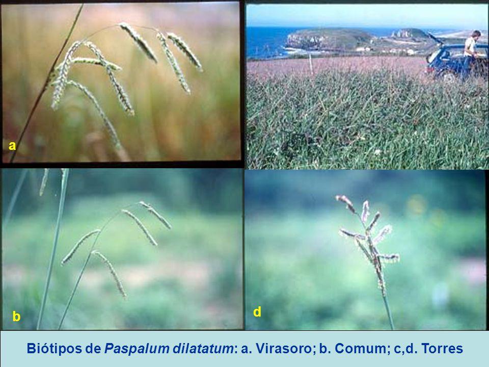 Biótipos de Paspalum dilatatum: a. Virasoro; b. Comum; c,d. Torres a b c d