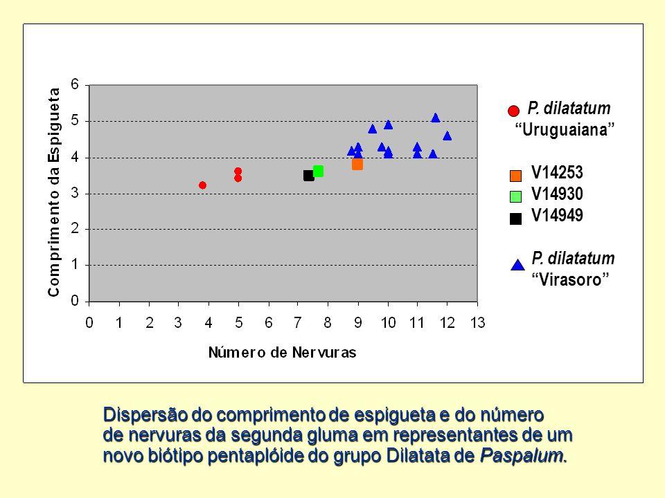 """""""Uruguaiana"""" V14253 V14930 V14949 P. dilatatum """"Virasoro"""" Dispersão do comprimento de espigueta e do número de nervuras da segunda gluma em representa"""
