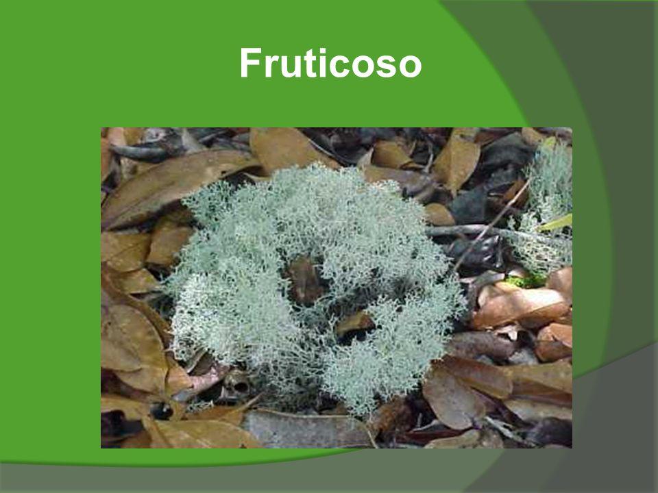 Fruticoso