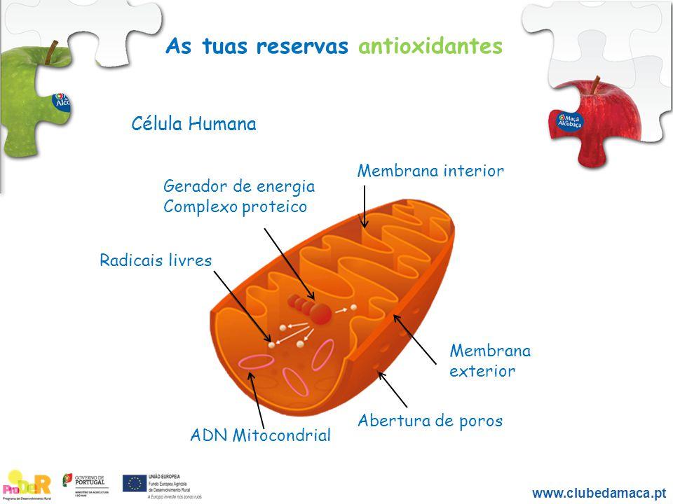 As tuas reservas antioxidantes Membrana interior Membrana exterior Abertura de poros ADN Mitocondrial Radicais livres Gerador de energia Complexo prot
