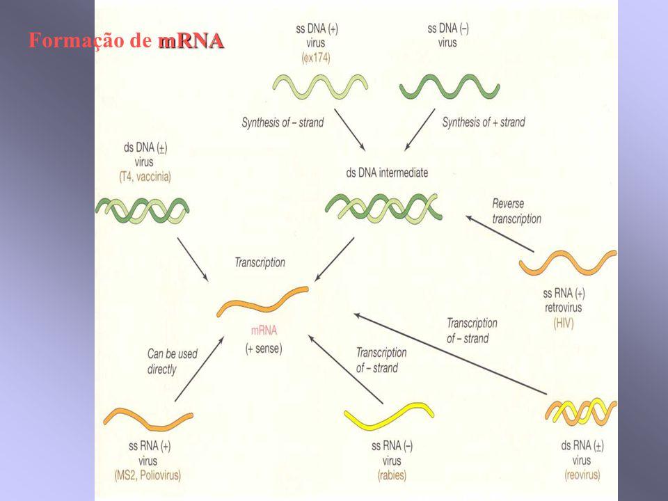 mRNA Formação de mRNA