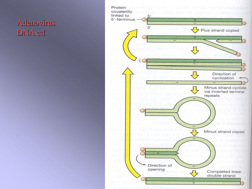 Adenovírus DNA cd