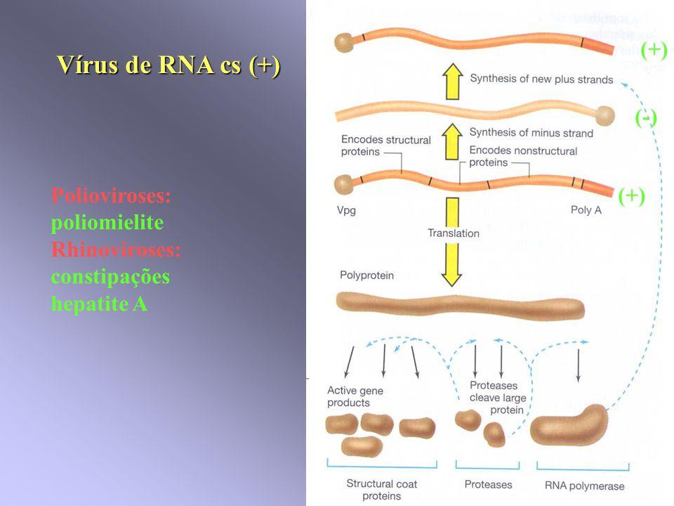 Vírus de RNA cs (+) Polioviroses: poliomielite Rhinoviroses: constipações hepatite A (+) (-) (+)