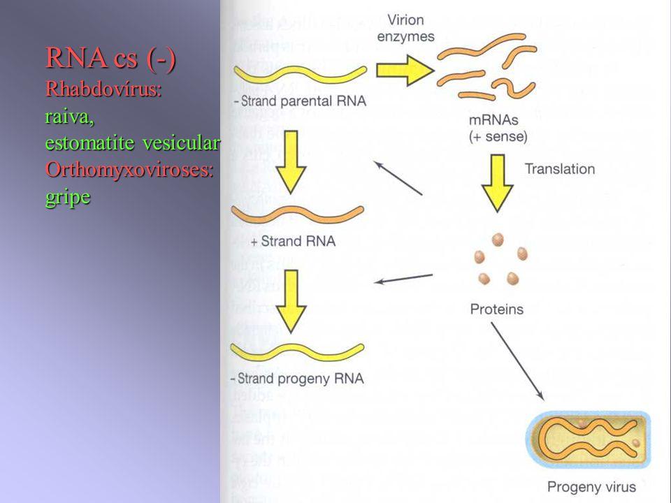 RNA cs (-) Rhabdovírus:raiva, estomatite vesicular Orthomyxoviroses:gripe