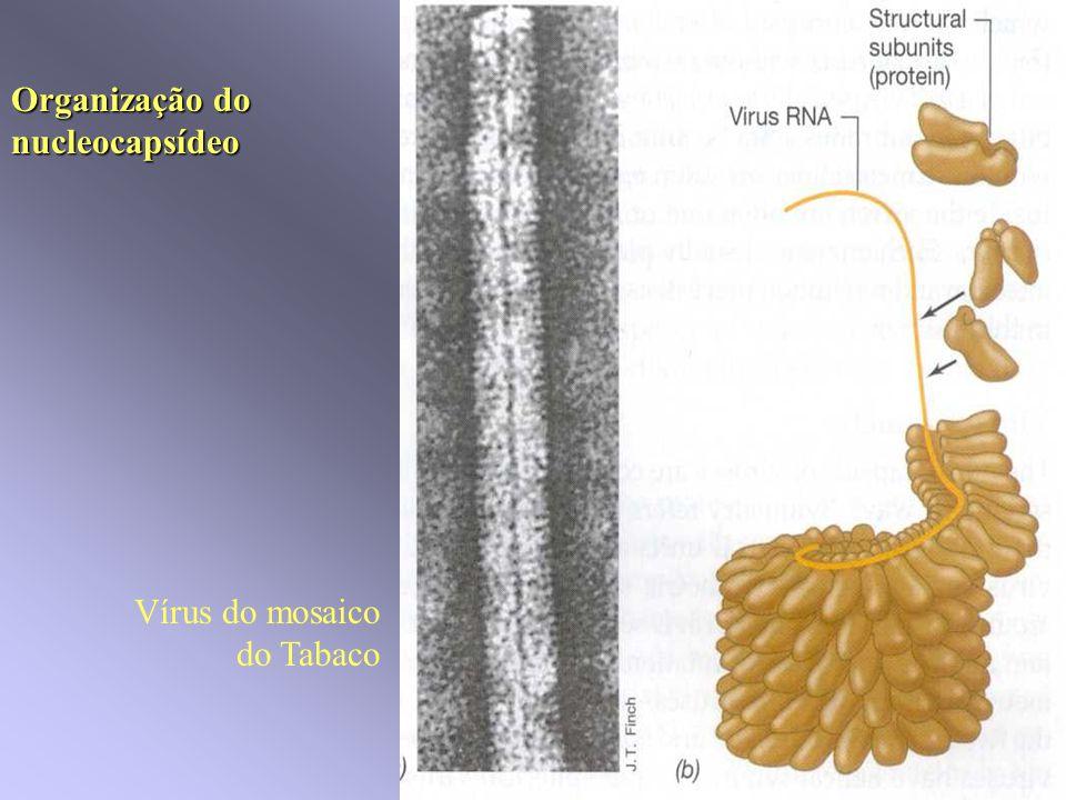 Vírus com e sem envelope Lípidos e glicoproteinas