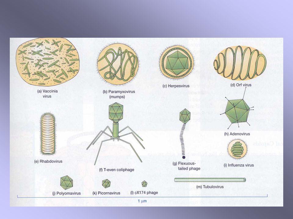 Vírus do papiloma DNA c.d.