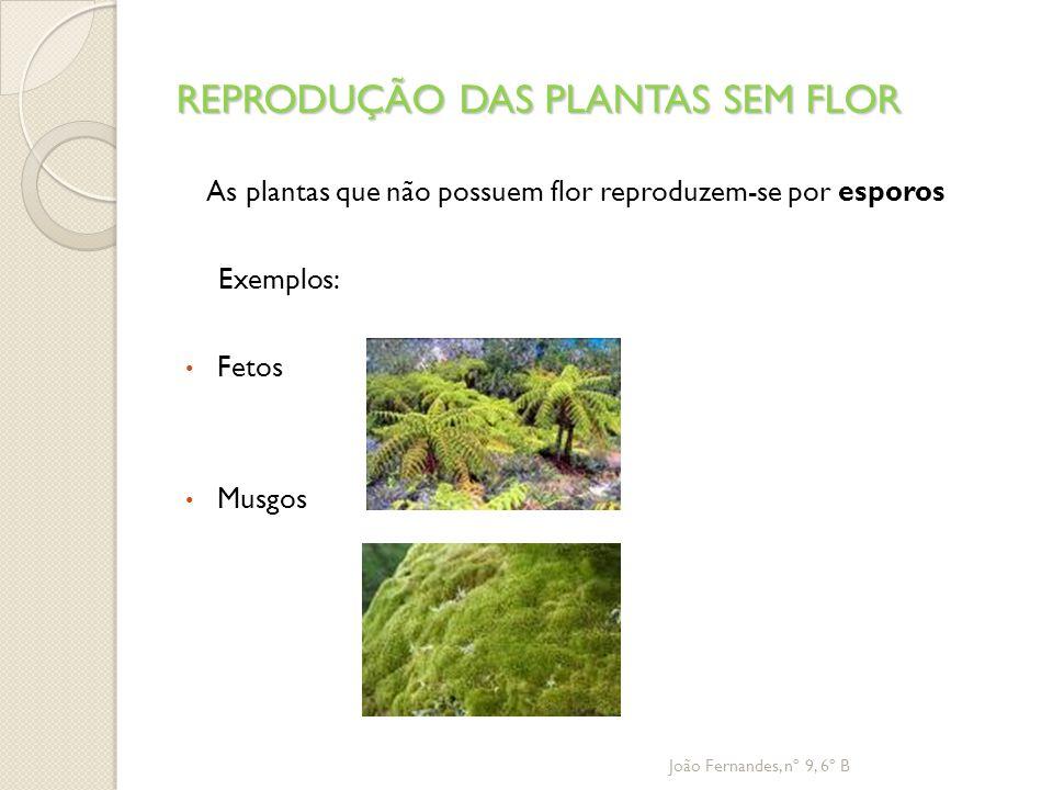 REPRODUÇÃO DAS PLANTAS SEM FLOR As plantas que não possuem flor reproduzem-se por esporos Exemplos: Fetos Musgos João Fernandes, nº 9, 6º B