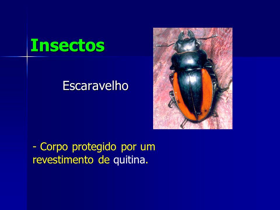 Escaravelho Insectos - Corpo protegido por um revestimento de quitina.