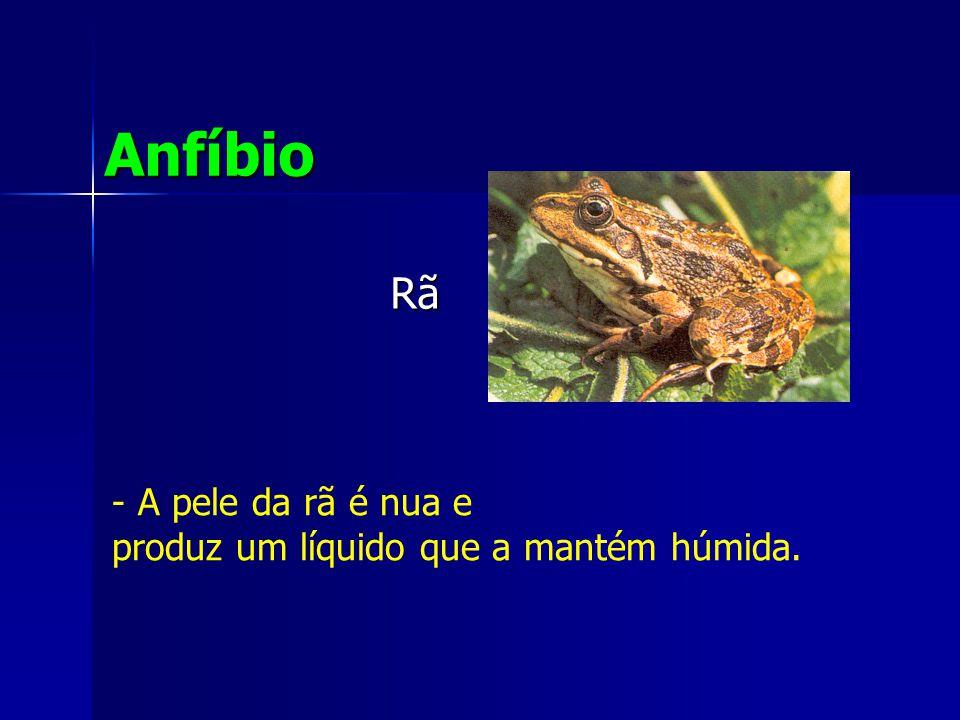 Rã Anfíbio - A pele da rã é nua e produz um líquido que a mantém húmida.