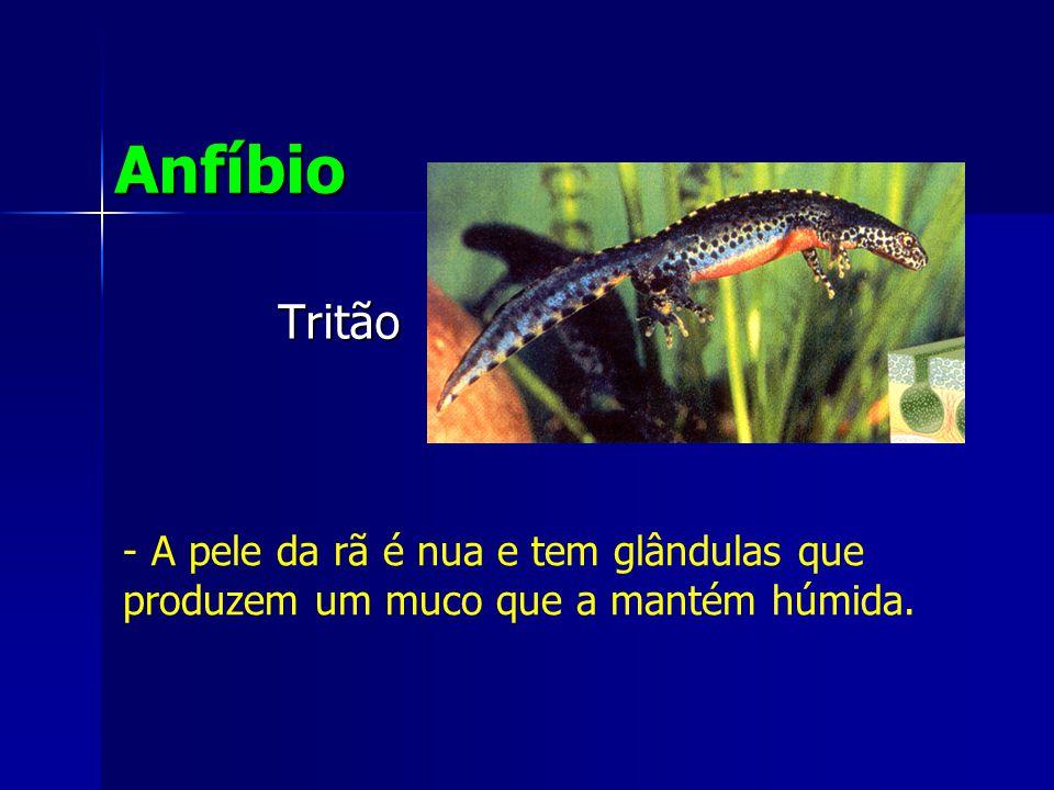 Tritão Anfíbio - A pele da rã é nua e tem glândulas que produzem um muco que a mantém húmida.