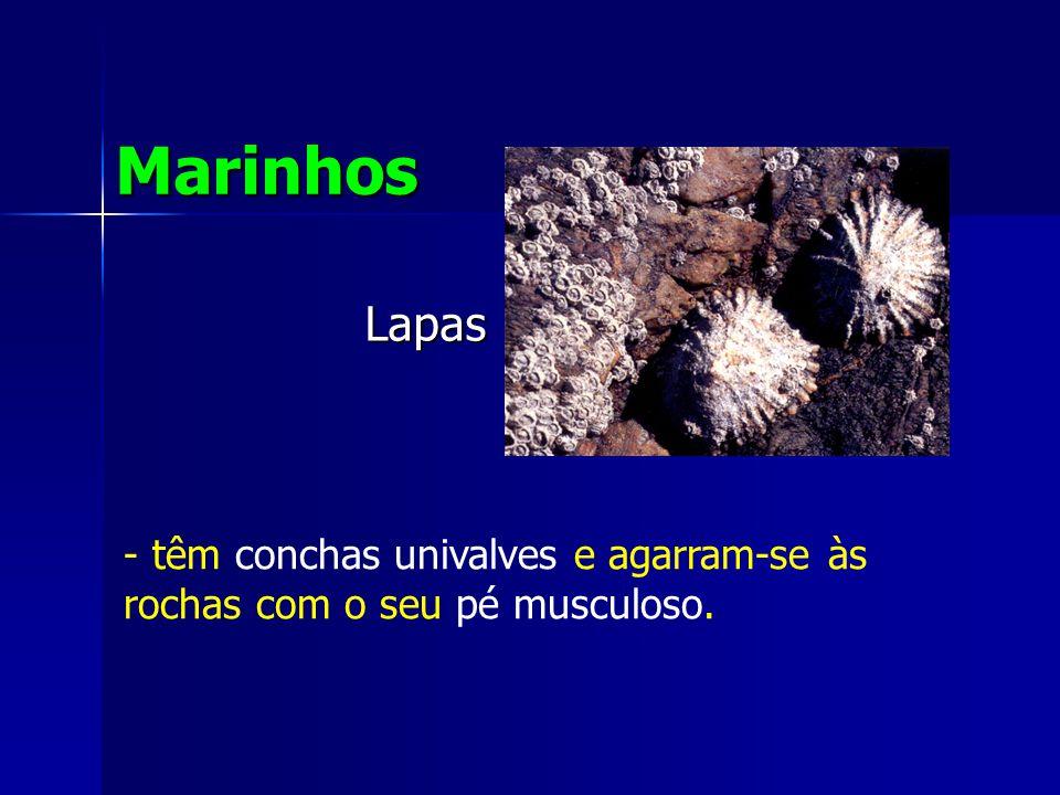 Lapas Marinhos - têm conchas univalves e agarram-se às rochas com o seu pé musculoso.