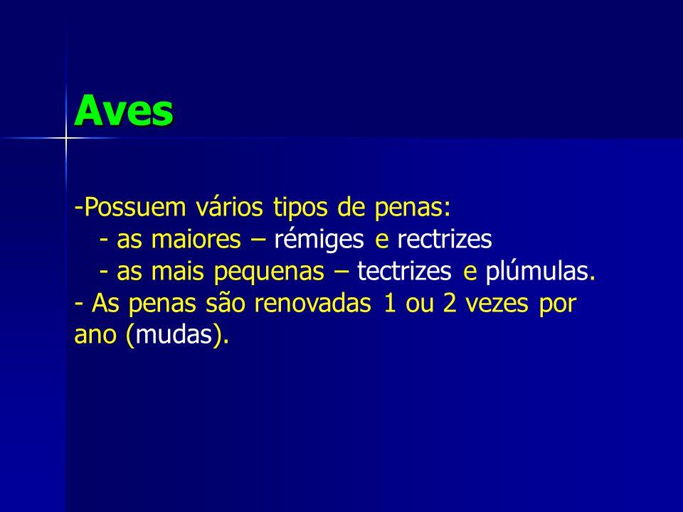 Aves -Possuem vários tipos de penas: - as maiores – rémiges e rectrizes - as mais pequenas – tectrizes e plúmulas.