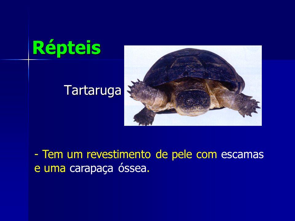 Tartaruga Répteis - Tem um revestimento de pele com escamas e uma carapaça óssea.