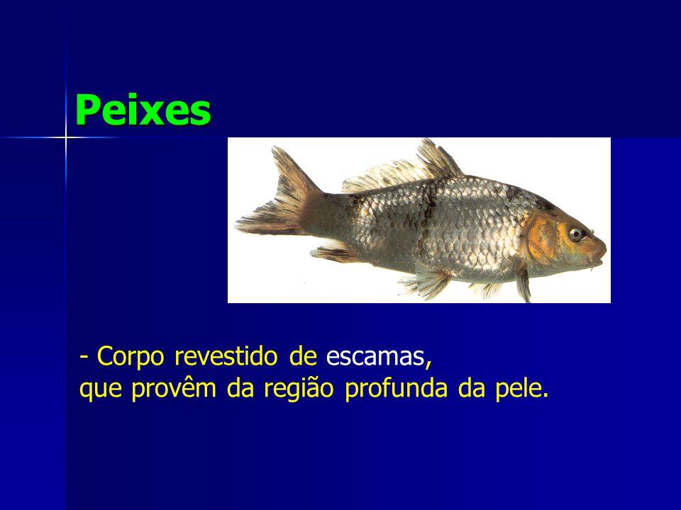 Peixes - Corpo revestido de escamas, que provêm da região profunda da pele.