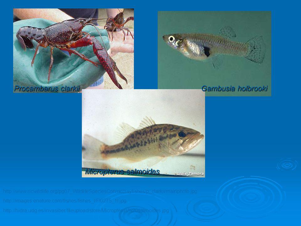 http://hidra.udg.es/invasiber/fileupload/store/Micropterus%20salmoides.jpg http://images.enature.com/fishes/fishes_l/FI0275_1l.jpg Micropterus salmoid