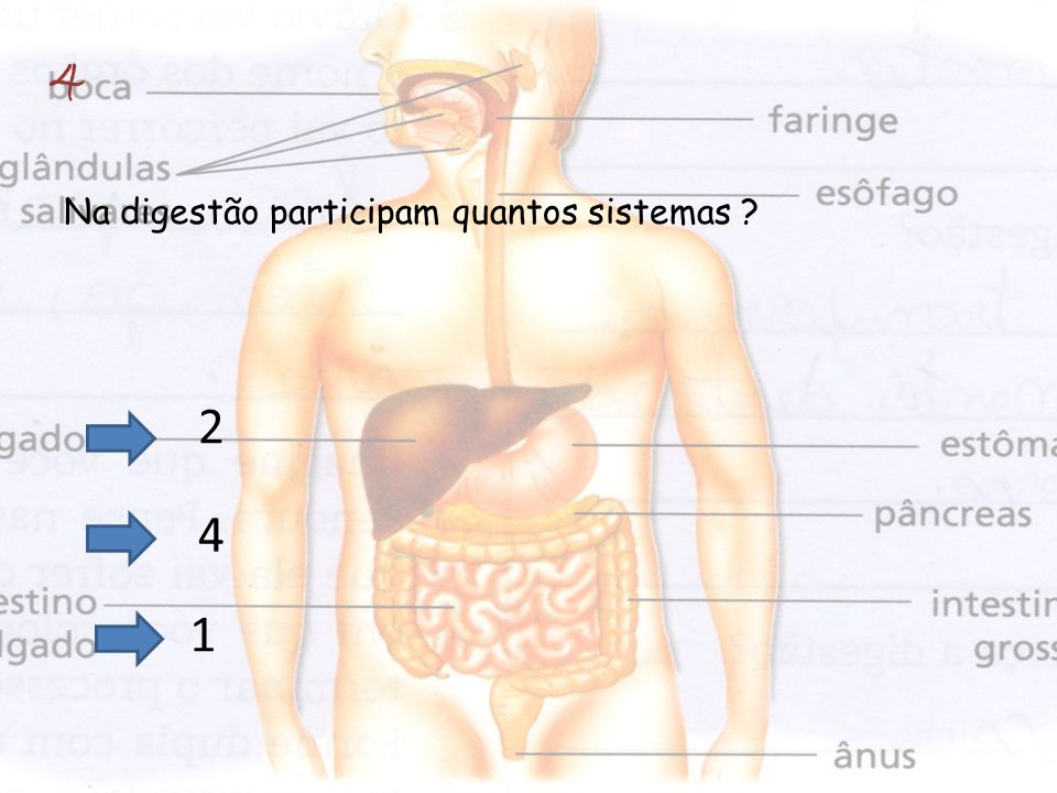 Na digestão participam quantos sistemas ? 4 2 4 1