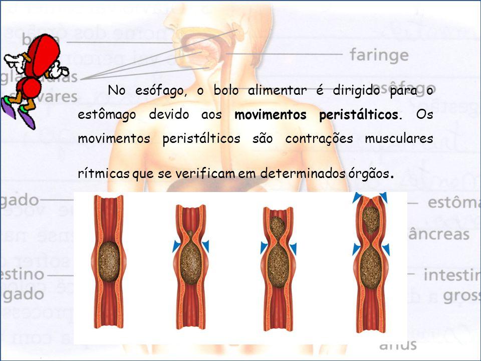 No esófago, o bolo alimentar é dirigido para o estômago devido aos movimentos peristálticos. Os movimentos peristálticos são contrações musculares rít