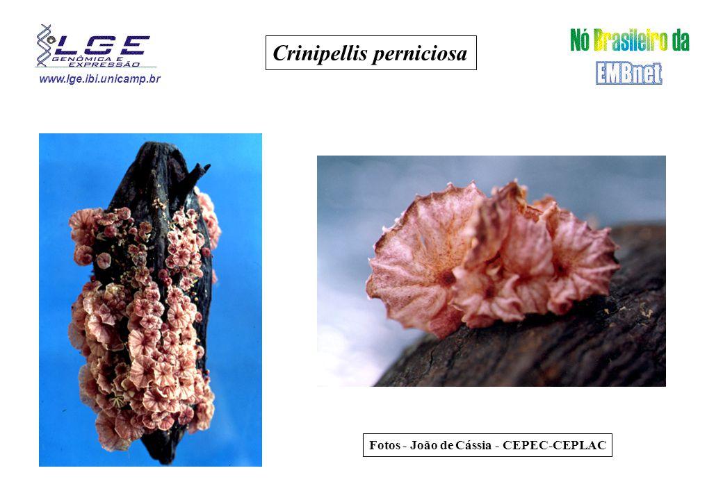 www.lge.ibi.unicamp.br Crinipellis perniciosa Fotos - João de Cássia - CEPEC-CEPLAC