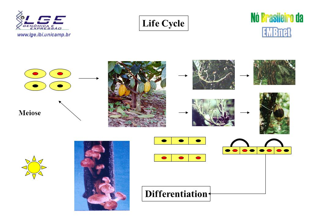 www.lge.ibi.unicamp.br Life Cycle Differentiation Meiose