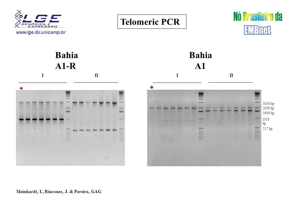 www.lge.ibi.unicamp.br Telomeric PCR III Bahia A1-R 1018 bp 1636 bp 2036 bp 3054 bp 517 bp III Bahia A1 Meinhardt, L, Rincones, J.