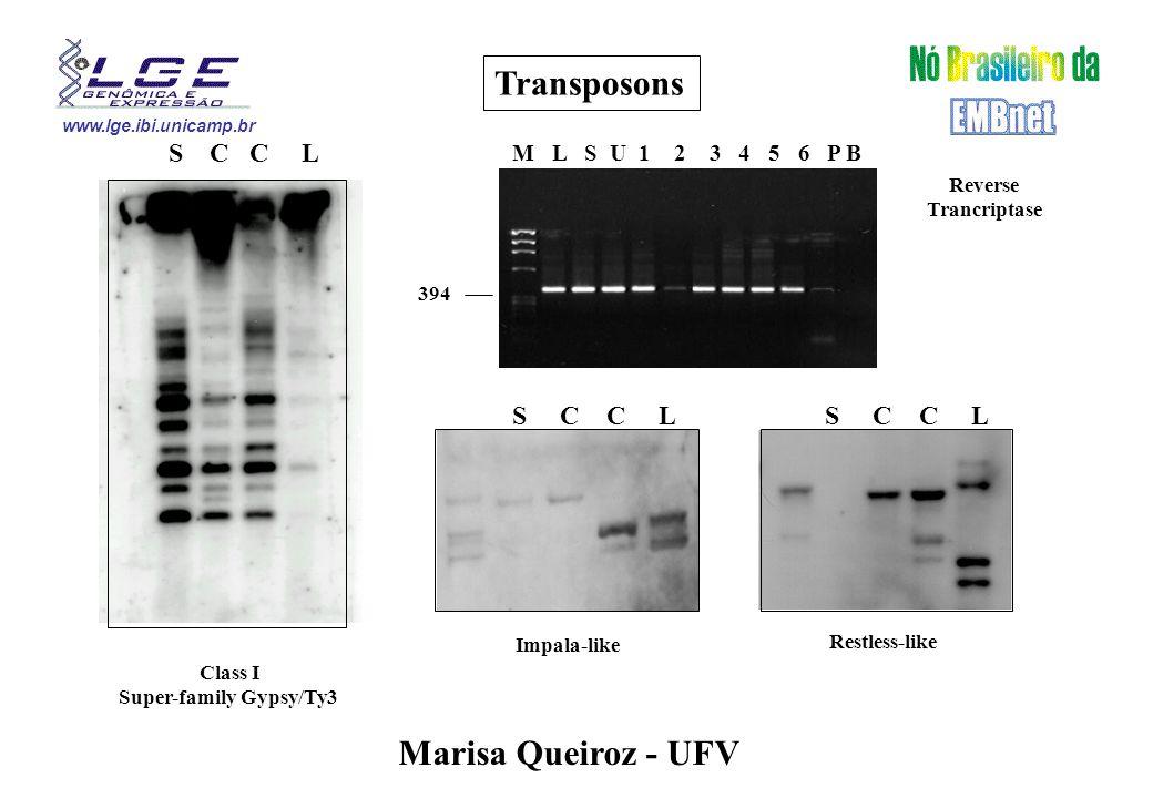 www.lge.ibi.unicamp.br Transposons S C C L Class I Super-family Gypsy/Ty3 Marisa Queiroz - UFV M L S U 1 2 3 4 5 6 P B 394 Reverse Trancriptase S C C L Impala-like S C C L Restless-like
