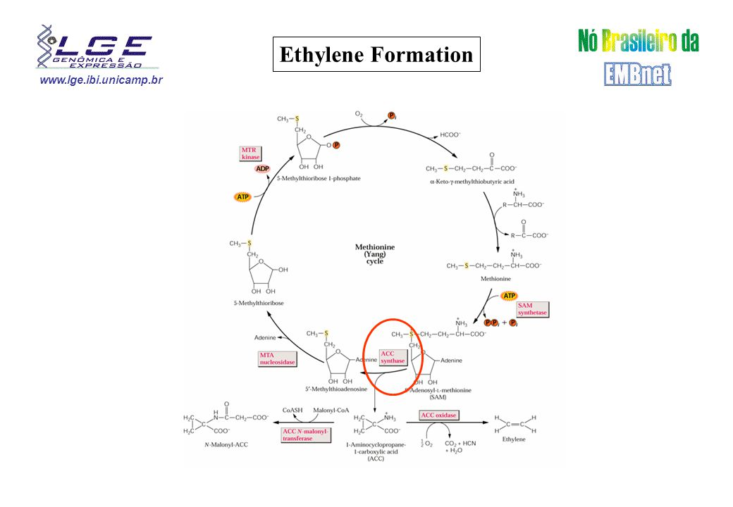 www.lge.ibi.unicamp.br Ethylene Formation