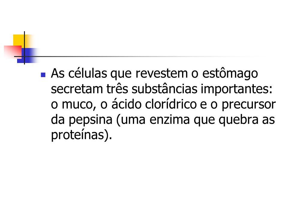 As células que revestem o estômago secretam três substâncias importantes: o muco, o ácido clorídrico e o precursor da pepsina (uma enzima que quebra a