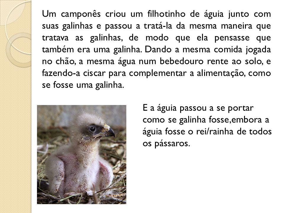 Um camponês criou um filhotinho de águia junto com suas galinhas e passou a tratá-la da mesma maneira que tratava as galinhas, de modo que ela pensasse que também era uma galinha.