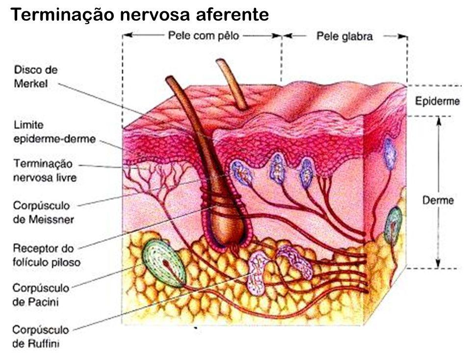 Terminação nervosa aferente