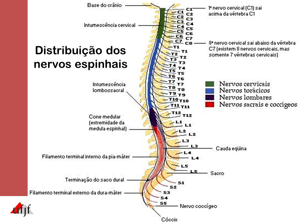 Distribuição dos nervos espinhais