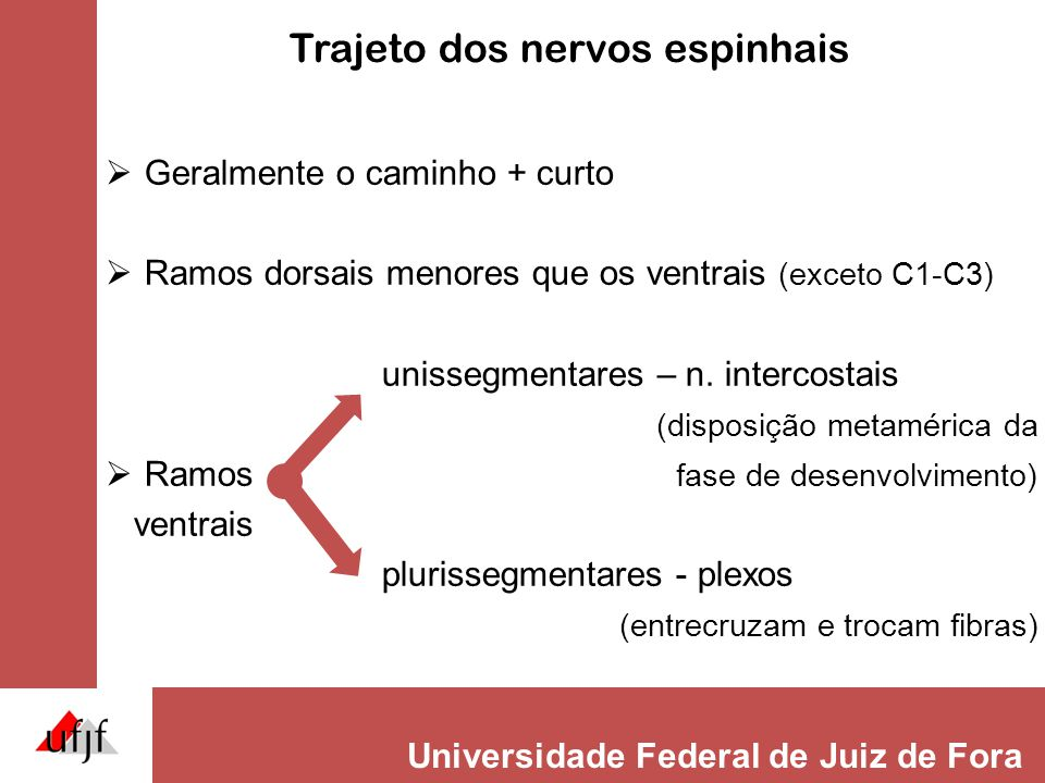 Universidade Federal de Juiz de Fora Trajeto dos nervos espinhais  Geralmente o caminho + curto  Ramos dorsais menores que os ventrais (exceto C1-C3) unissegmentares – n.