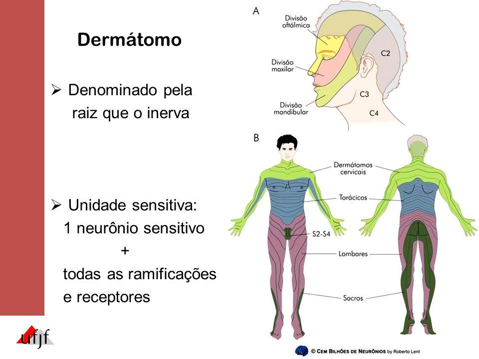 Dermátomo  Denominado pela raiz que o inerva  Unidade sensitiva: 1 neurônio sensitivo + todas as ramificações e receptores