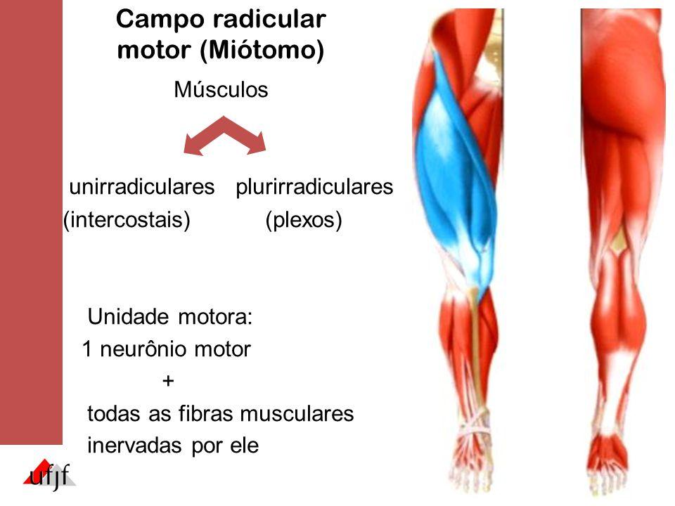 Campo radicular motor (Miótomo) Músculos unirradiculares plurirradiculares (intercostais)(plexos) Unidade motora: 1 neurônio motor + todas as fibras m