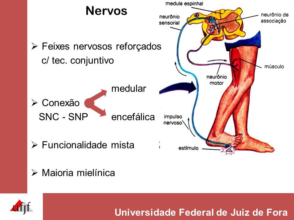 Universidade Federal de Juiz de Fora Nervos  Feixes nervosos reforçados c/ tec. conjuntivo medular  Conexão SNC - SNP encefálica  Funcionalidade mi