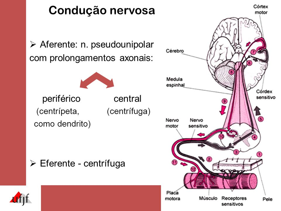 Condução nervosa  Aferente: n. pseudounipolar com prolongamentos axonais: periféricocentral (centrípeta, (centrífuga) como dendrito)  Eferente - cen