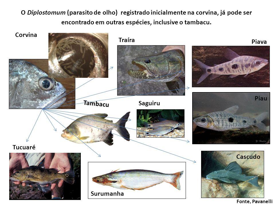 O Diplostomum (parasito de olho) registrado inicialmente na corvina, já pode ser encontrado em outras espécies, inclusive o tambacu. Corvina Surumanha