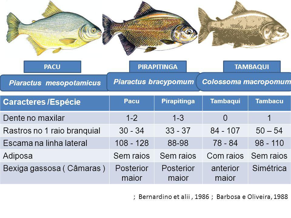 Caracteres /Espécie PacuPirapitingaTambaquiTambacu Dente no maxilar1-21-301 Rastros no 1 raio branquial30 - 3433 - 3784 - 10750 – 54 Escama na linha l