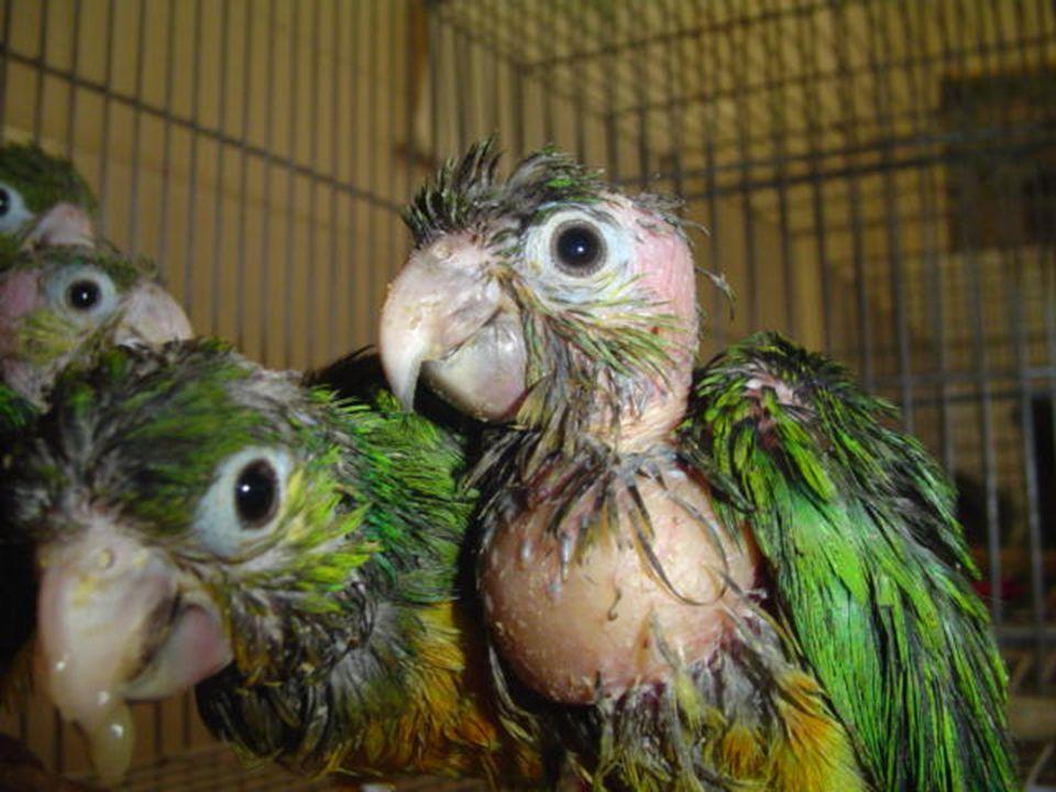 E falando do papagaio que atualmente reside com a pessoa que você conhece...