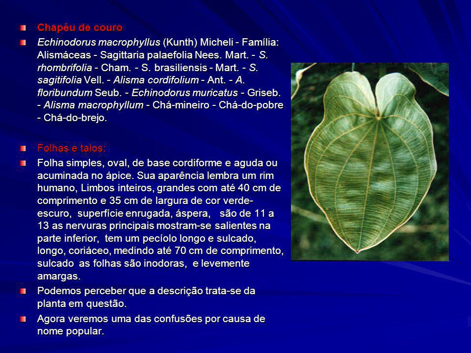 Chapéu de couro Echinodorus macrophyllus (Kunth) Micheli - Família: Alismáceas - Sagittaria palaefolia Nees. Mart. - S. rhombrifolia - Cham. - S. bras