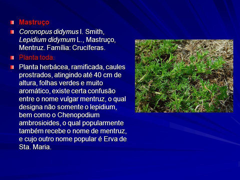 Mastruço Coronopus didymus l. Smith, Lepidium didymum L., Mastruço, Mentruz. Família: Crucíferas. Planta toda. Planta toda. Planta herbácea, ramificad