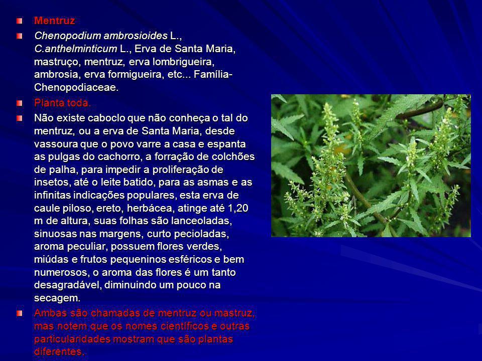 Mentruz Chenopodium ambrosioides L., C.anthelminticum L., Erva de Santa Maria, mastruço, mentruz, erva lombrigueira, ambrosia, erva formigueira, etc..
