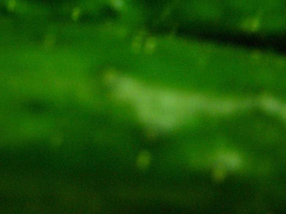PEPINOS pepinos são fálicos consolam homens e mulheres mas trazem em si o trauma do desconforto tudo que é pepino costuma fazer sofrer mas o pepino em si em rodelas ariscas (es)correm pelo prato navegando em azeites, sais e suas flores então...
