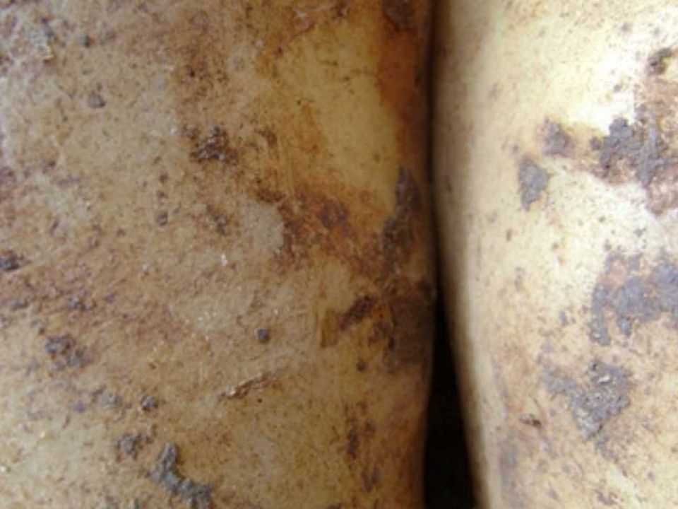 BATATAS IV batatas e girassois alimentaram e iluminaram a vida de van gogh e alimentam e iluminam a nossa