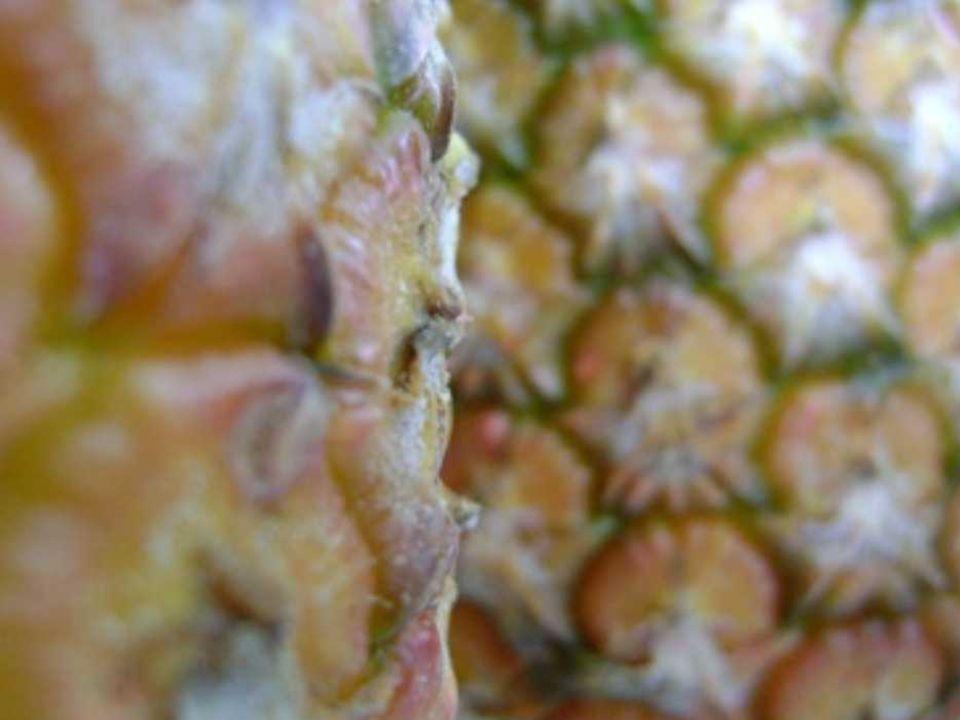 MAÇÃS E BANANAS III desqualificar frutas desqualifica a vida delas juntar bananas, laranjas e abacaxis julgá-las e mostrar-lhes o inferno são injustiças injustificadas eles os frutas selados se cumprirem pena se digladiam elas as frutas juntas iluminam as papilas produzem luz no estômago aquecem o âmago mesmo geladas caladas harmônicas frutas juntas são gastro/irônicas saladas