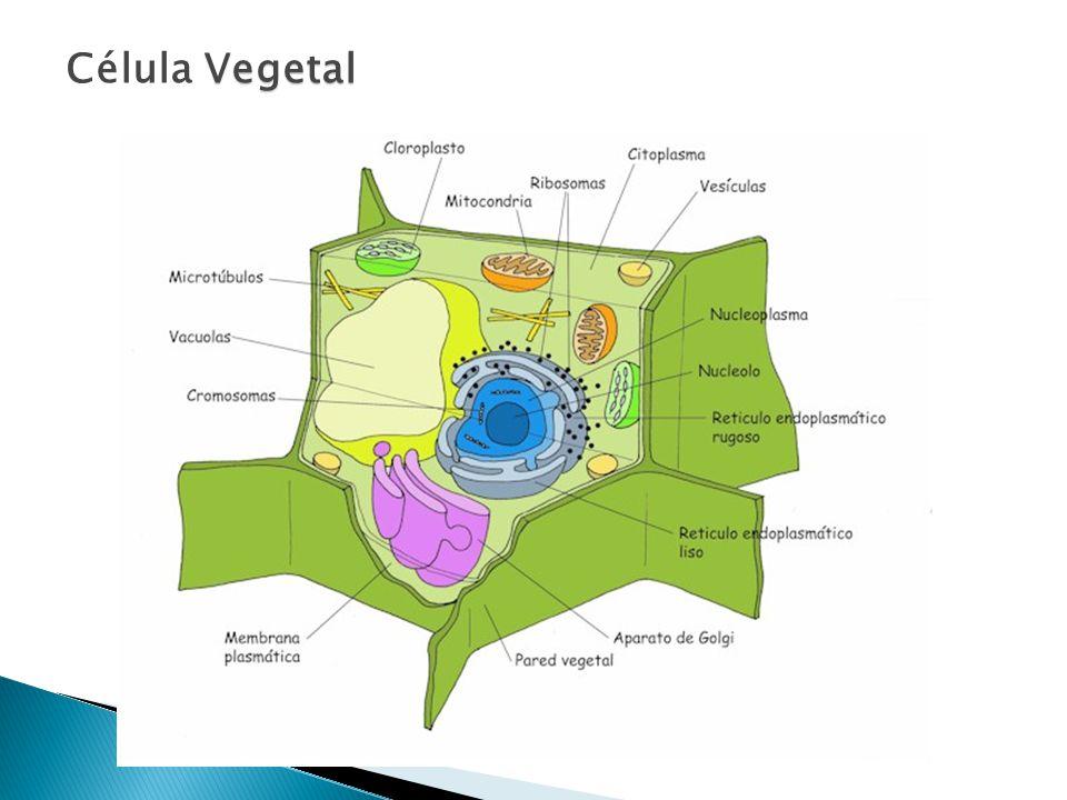 Vegetal Célula Vegetal