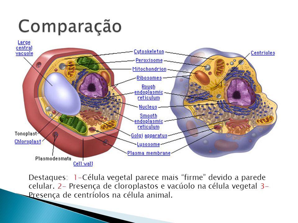 """Destaques: 1-Célula vegetal parece mais """"firme"""" devido a parede celular. 2- Presença de cloroplastos e vacúolo na célula vegetal 3- Presença de centrí"""