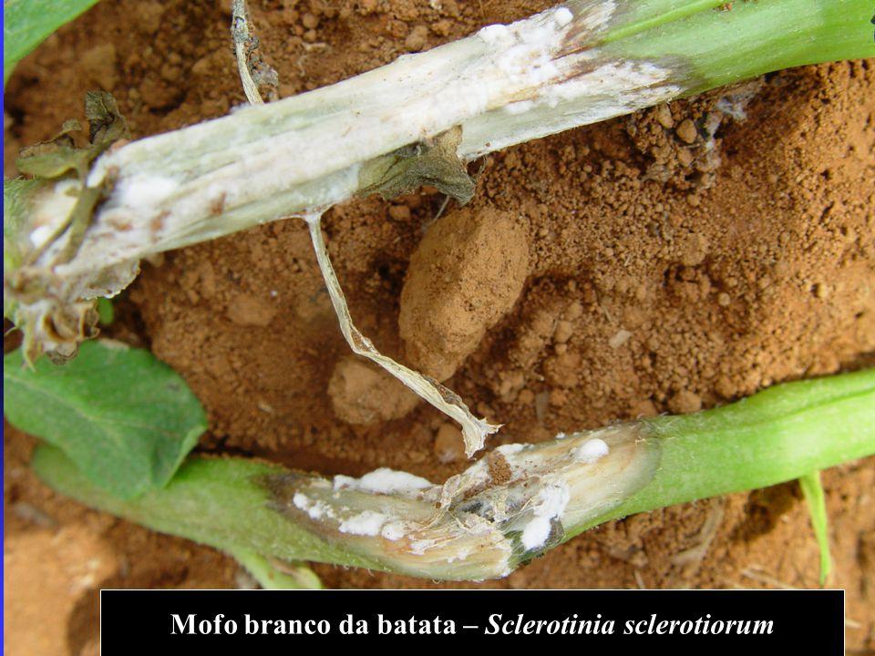 Mofo branco da batata – Sclerotinia sclerotiorum