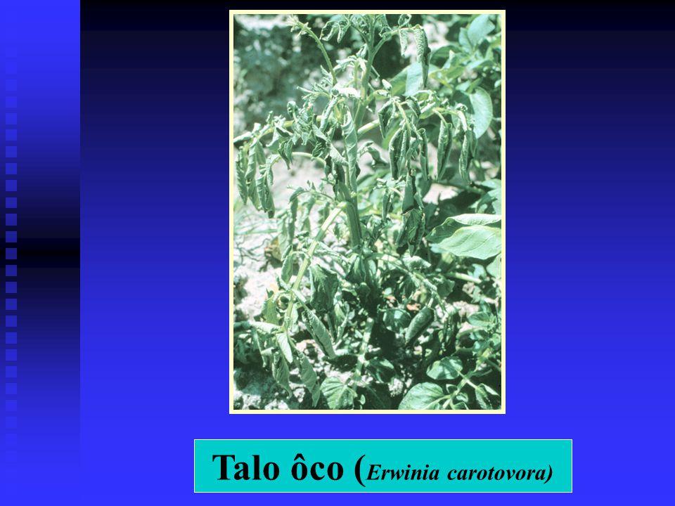 Talo ôco ( Erwinia carotovora)